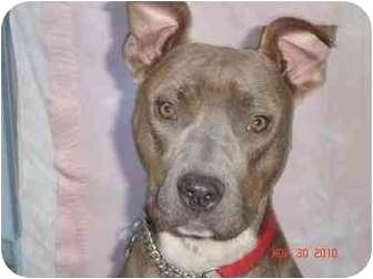 American Pit Bull Terrier/American Staffordshire Terrier Mix Dog for adoption in Studio City, California - SADIE
