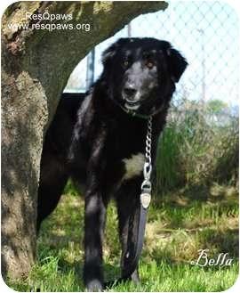 Akbash/Anatolian Shepherd Mix Dog for adoption in Yuba City, California - Bella