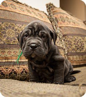 Shar Pei/Labrador Retriever Mix Puppy for adoption in Howell, Michigan - Juliet