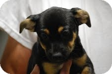 Miniature Pinscher Mix Puppy for adoption in Boonsboro, Maryland - Jason
