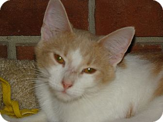 American Shorthair Cat for adoption in Wood Dale, Illinois - Cupcake- FOSTER HOME NEEDED!