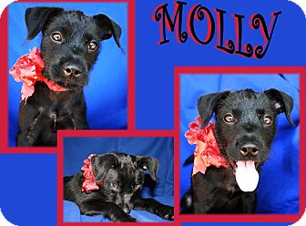 Jack Russell Terrier Mix Puppy for adoption in Haughton, Louisiana - Molly