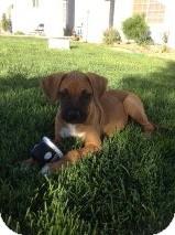 Boxer/Labrador Retriever Mix Puppy for adoption in Studio City, California - Mattie