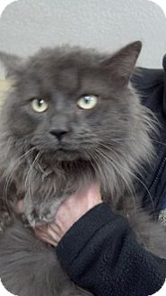 Maine Coon Cat for adoption in Sterling Hgts, Michigan - Winston