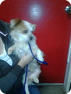 Pekingese Mix Dog for adoption in Las Vegas, Nevada - Biscuit