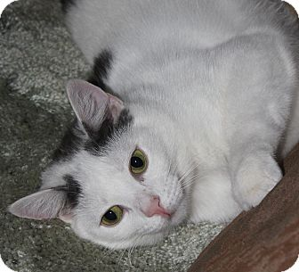 Domestic Shorthair Cat for adoption in North Branford, Connecticut - Athena