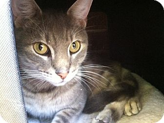 Domestic Shorthair Cat for adoption in Columbia, Maryland - Lucky