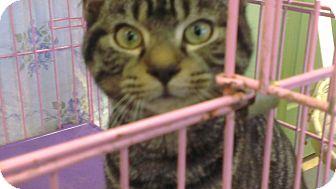 Domestic Shorthair Kitten for adoption in Grasonville, Maryland - Big Brown