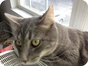 Domestic Shorthair Cat for adoption in Columbus, Ohio - Boris