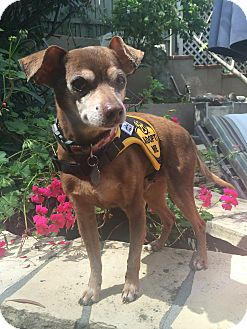 Chihuahua Mix Dog for adoption in Santa Monica, California - Buster Brown