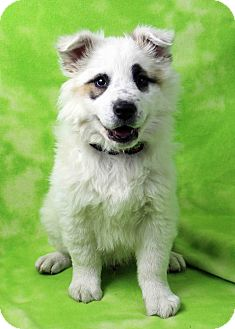 Australian Shepherd/Australian Cattle Dog Mix Puppy for adoption in Westminster, Colorado - Halwyn