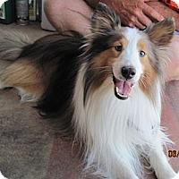 Adopt A Pet :: Ace - apache junction, AZ