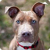 Adopt A Pet :: Ruby Begonia - Reisterstown, MD