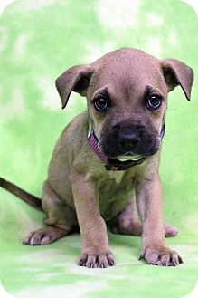 Boxer Mix Puppy for adoption in Westminster, Colorado - Peers