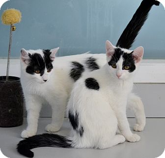 Domestic Shorthair Cat for adoption in Michigan City, Indiana - Moo & Jackie