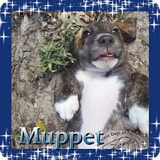 Australian Shepherd/Labrador Retriever Mix Puppy for adoption in Kenmore, New York - Muppet