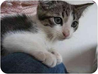 Domestic Shorthair Kitten for adoption in Los Angeles, California - Jasper