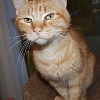 Domestic Shorthair Cat for adoption in Jackson, Mississippi - Ginger