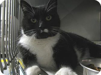 Domestic Shorthair Cat for adoption in Voorhees, New Jersey - Enid