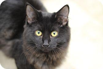 Domestic Longhair Cat for adoption in Marietta, Georgia - Lil