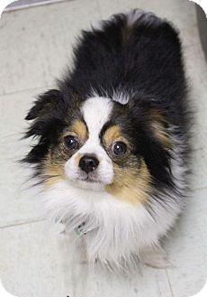 Pomeranian Dog for adoption in Edmond, Oklahoma - Sid