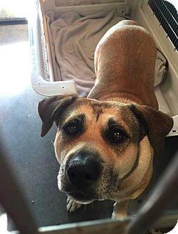 Shepherd (Unknown Type) Mix Dog for adoption in Phoenix, Arizona - Madalaine