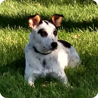 Australian Cattle Dog/Border Collie Mix Dog for adoption in Minneapolis, Minnesota - Lily