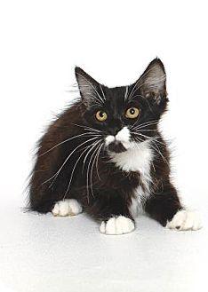 Domestic Shorthair Kitten for adoption in Gloucester, Virginia - FLORENCE