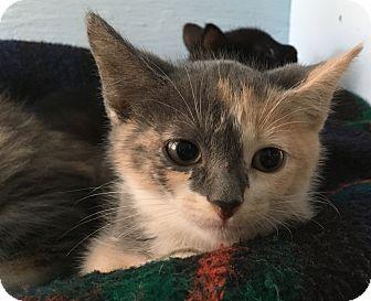 Calico Kitten for adoption in Savannah, Georgia - Allison