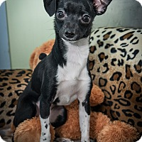 Adopt A Pet :: Pocahontas - New York, NY