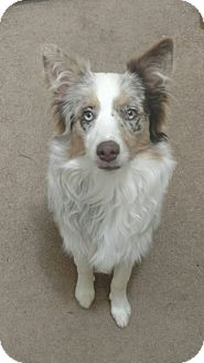Australian Shepherd/Australian Shepherd Mix Dog for adoption in West Springfield, Massachusetts - Stella