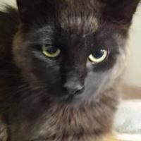 Domestic Longhair/Domestic Shorthair Mix Cat for adoption in Winona, Minnesota - Dually