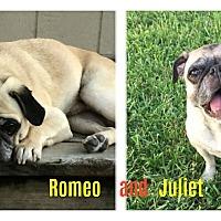 Adopt A Pet :: Romeo - Grapevine, TX