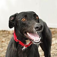 Adopt A Pet :: Primp - Ware, MA