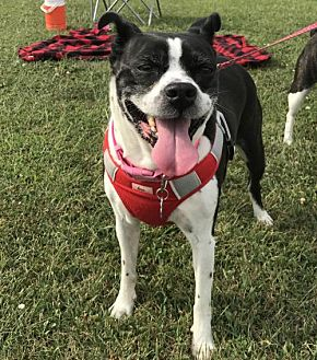 Boston Terrier Mix Dog for adoption in Various Cities in the entire Southeast, Tennessee - Molly Jane KY