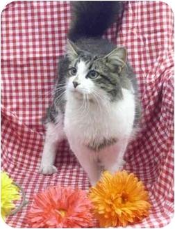 Domestic Longhair Cat for adoption in Newland, North Carolina - Brady