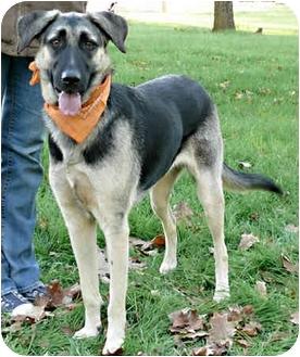 German Shepherd Dog/Anatolian Shepherd Mix Dog for adoption in Sacramento, California - Bella superrrr
