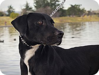 Labrador Retriever/Staffordshire Bull Terrier Mix Dog for adoption in Burbank, California - Marley - LOVING, HOUSETRAINED!