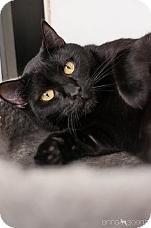 Domestic Shorthair Cat for adoption in Portland, Oregon - Sweet Kitty