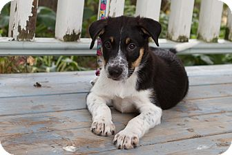 Border Collie/Australian Cattle Dog Mix Puppy for adoption in Drumbo, Ontario - Max