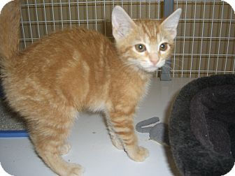 Domestic Shorthair Kitten for adoption in Kelseyville, California - Gina