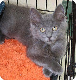 Domestic Longhair Kitten for adoption in Asheville, North Carolina - Cinder