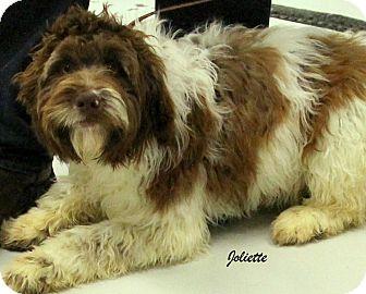 Springer Spaniel/Terrier (Unknown Type, Medium) Mix Dog for adoption in Hibbing, Minnesota - JOLIETTE