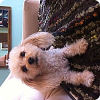 Adopt A Pet :: Belle - Los Angeles, CA