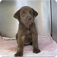 Adopt A Pet :: Snickers - Alexandria, VA