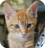 Domestic Shorthair Kitten for adoption in Brooklyn, New York - Bronze
