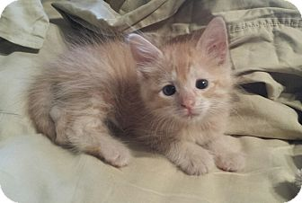 Domestic Longhair Kitten for adoption in Wayne, New Jersey - O'Malley