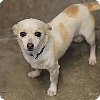 Adopt A Pet :: Gherkin - 6 lb cutie! - Phoenix, AZ