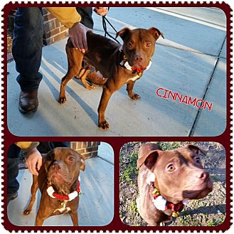 American Pit Bull Terrier Mix Dog for adoption in Louisburg, North Carolina - Cinnamon