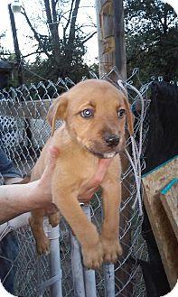 Labrador Retriever Mix Puppy for adoption in Macon, Georgia - Midnight